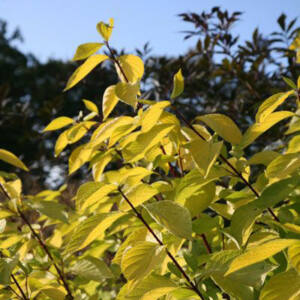 Cornus alba 'Aurea' – Sárga lombú som