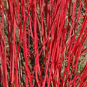 Cornus alba 'Westonbirt' – Piros vesszős som