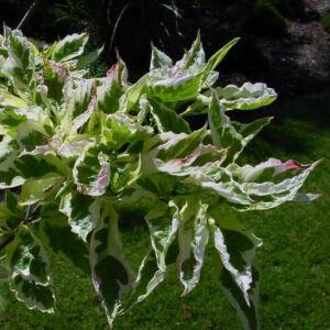 Cornus florida 'Daybreak' – Virágos som