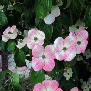 Cornus kousa 'China Girl' – Csillagsom