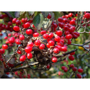Cornus officinalis – Keleti som