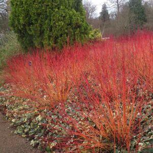 Cornus sanguinea 'Anny's Winter Orange' – Sárga-vörös vesszejű som