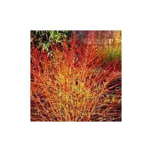 Cornus sanguinea 'Magic Flame' – Sárga-vörös vesszejű som