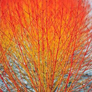 Cornus sanguinea 'Midwinter Fire' – Zöld levelű, narancsos vesszejű som