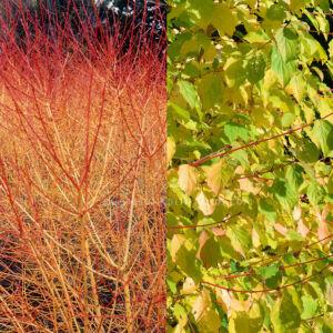 Cornus sanguinea 'Winter Beauty' – Zöld levelű, narancssárga vesszejű som