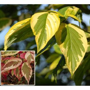 Cornus serica 'Hedgerows Gold' – Sárga-tarka levelű, vörös vesszejű selymes som