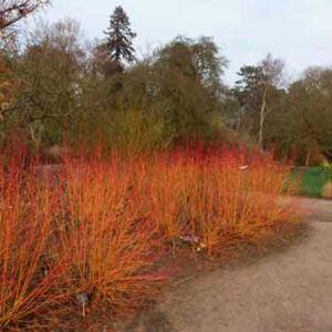 Cornus serica 'Winter Flame' – Sárga-vörös vesszejű som