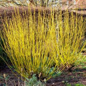 Cornus serica 'Winter Gold' – Arany vesszejű som