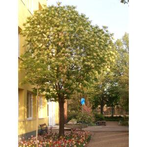 Fraxinus ornus 'Mecsek' - Gömb kőris (extra méretű koros)