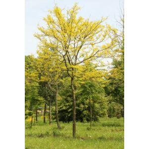 Gleditsia triachantos 'Sunburst' - Sárga krisztustövis (extra méretű koros)