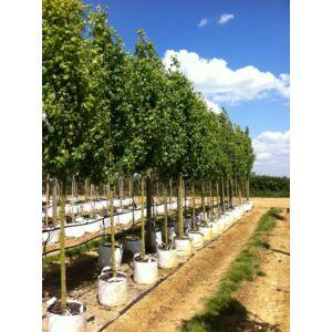 Acer campestre 'Lienco' - Oszlopos juharfa (extra méretű koros)