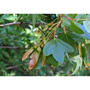 Acer monspessulanum – Francia juhar