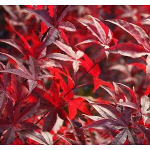 Acer palmatum 'Red Emperor' - Bordó levelű japán juhar