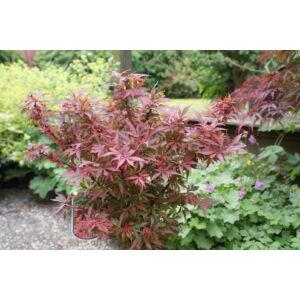 Acer palmatum 'Shaina' - Japán juhar