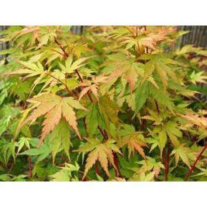 Acer palmatum 'Sango Kaku' - Élénkzöld levelű japán juhar