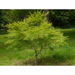 Acer palmatum 'Seiryu' - Japán juhar