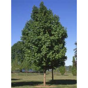 Acer platanoides 'Parkway' - Korai juhar