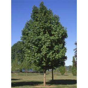 Acer platanoides 'Parkway' - Korai juhar (extra méretű koros)
