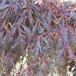 Acer palmatum 'Crimson Princess' - Csüngő habitusú, vörös, szeldelt levelű japán juhar