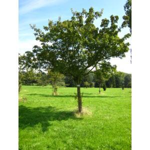 Acer ginnala - Tűzvörös juhar