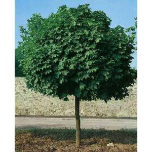 Acer platanoides 'Globosum' - Gömbjuhar