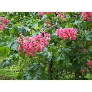 Aesculus carnea 'Briotti' - Piros virágú vadgesztenye (extra méretű koros)