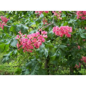 Aesculus carnea 'Briotti' - Piros virágú vadgesztenye