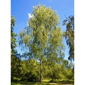 Betula pendula - Közönséges nyírfa