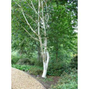 Betula utilis 'Doorenbos' - Himalájai nyír (extra méretű koros)