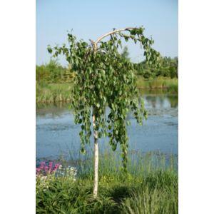 Betula utilis 'Long Trunk' - Csüngő himalájai nyír (extra méretű koros)