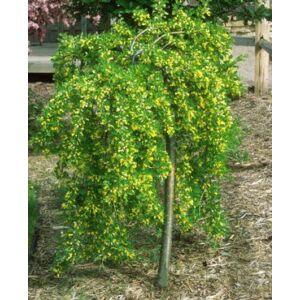 Caragana arborescens 'Pendula' - Csüngő borsófa