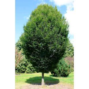 Carpinus betulus 'Fastigiata' - Oszlopos növekedésű gyertyán (extra méretű koros)