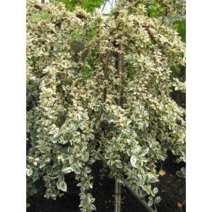 Cotoneaster dammmeri 'Juliette' - Fehér-tarka levelű magastörzsű madárbirs