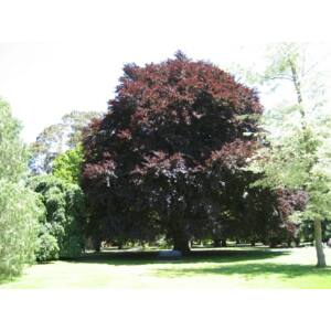 Fagus sylvatica 'Atropunicea' - Vörös bükk