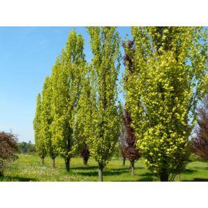 Fagus sylvatica 'Dawyck Gold' - Oszlopos, sárga levelű bükk