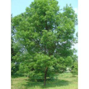 Fraxinus angustifolia 'Raywood' - Magyar kőris