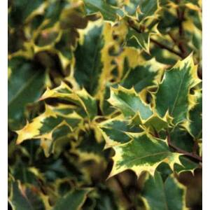 Ilex altaclerensis 'Golden King' - Sárga levélszélű magyal