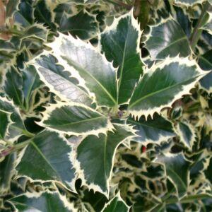 Ilex aquifolium 'Argenteamarginata' - Magas törzsű fehér levélszélű magyal
