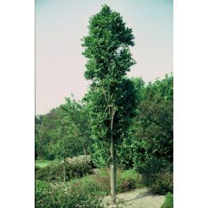 Koelreuteria paniculata 'Fastigiata' - Oszlopos csörgőfa (extra méretű koros)