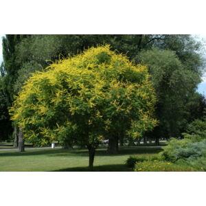 Koelreuteria paniculata - Bugás csörgőfa