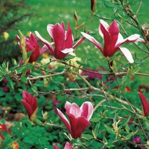 Magnolia 'Susan' – Nagyvirágú liliomfa (extra méretű koros)