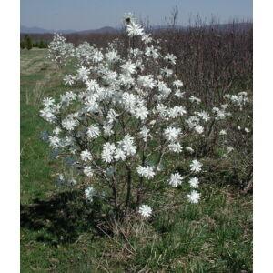 Magnolia stellata 'Royal Star' – Fehér csillagvirágú liliomfa