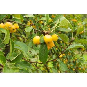 Malus 'Yellow Siberian' - Díszalma