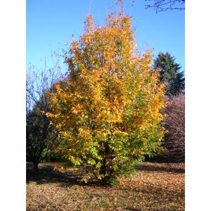 Parrotia persica - Perzsa varázsfa (extra méretű koros)