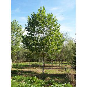 Platanus acerifolia – Platán (extra méretű koros)