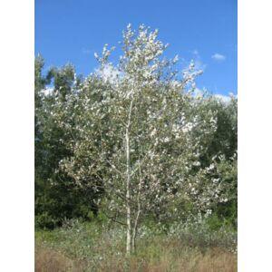 Populus alba 'Nivea' - Nyárfa