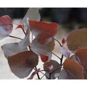 Populus deltoides 'Purple Tower' - Oszlopos, vöröses-bordós levelű nyárfa