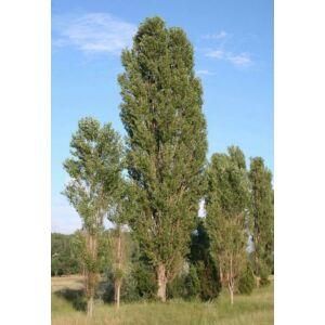 Populus nigra 'Italica' - Oszlopos Jegyenyenyár (extra méretű koros)