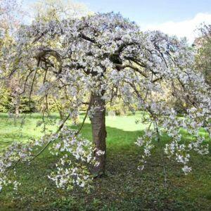 Prunus 'Shidare Yoshino'
