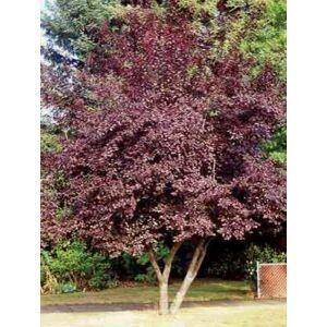 Prunus cerasifera 'Hollywood' - Nagyvirágú vérszilva